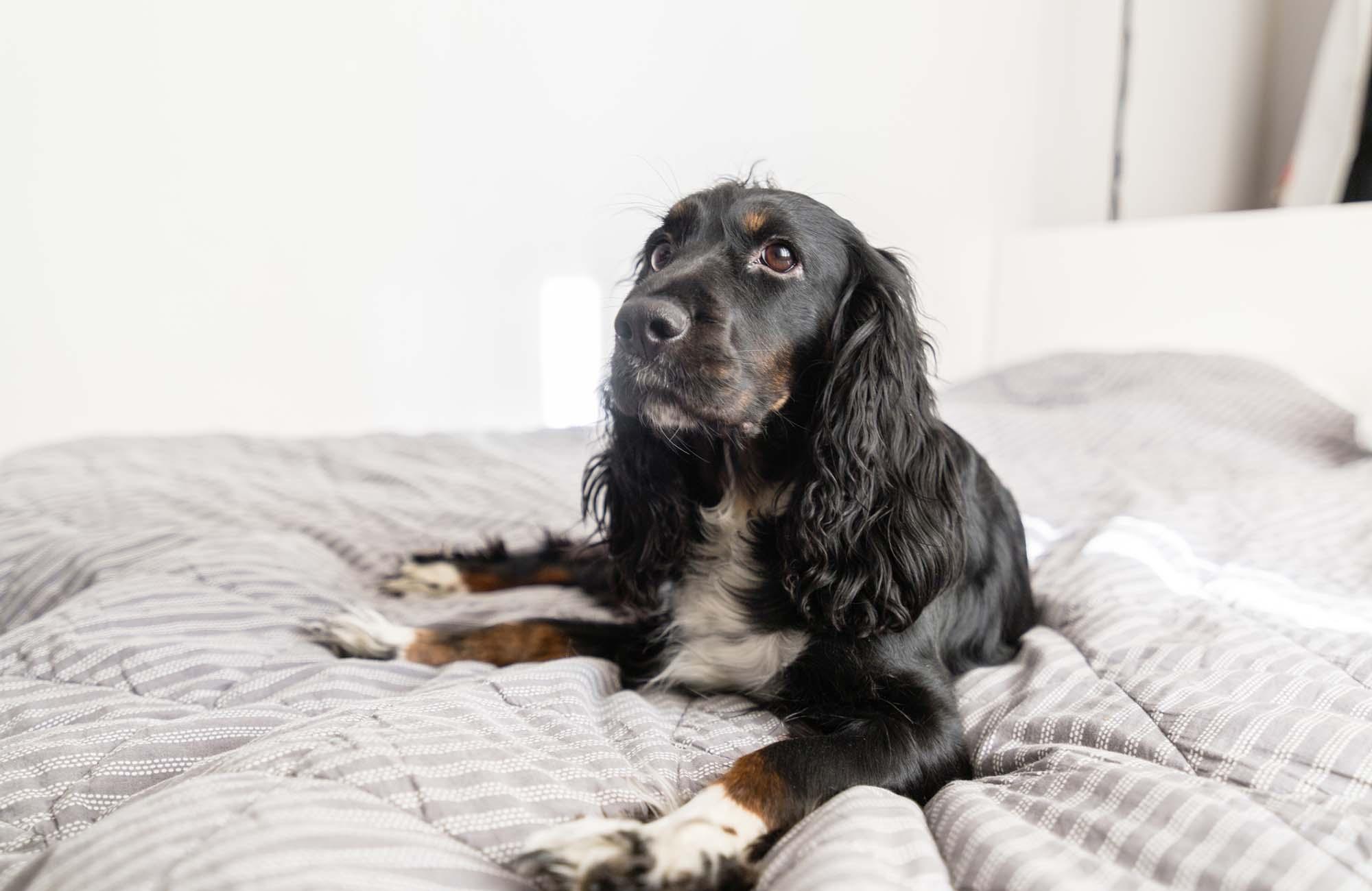 Black Spaniel dog on bed